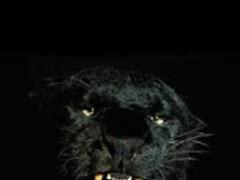 Animals : Black panther 75.0 Screenshot