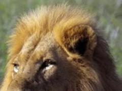 Animals : Lion 75.0 Screenshot