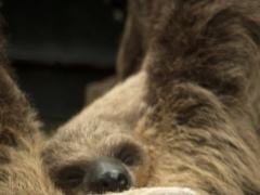 Baby Sloths Wallpaper Images 1.0 Screenshot