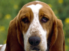 basset hound wallpaper 6.00 Screenshot