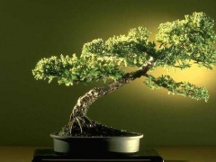 Bonsai Gallery Screensaver Collection 2.0 Screenshot