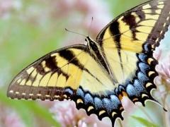 Butterflies of North America Screen Saver and Wallpaper 3.3 Screenshot