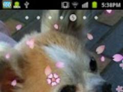 Cherry blossom live wallpaper 1.5 Screenshot