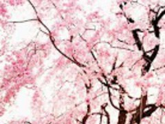 Cherry Blossom★ Wallpaper 05 3.0 Screenshot