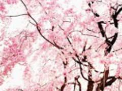 Cherry blossom ★ Wallpaper 09 2.0 Screenshot
