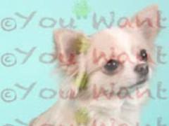 Chihuahua Wallpapers 1.2 Screenshot