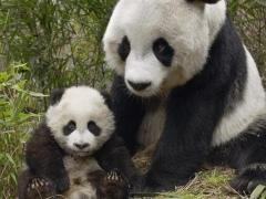 Cool Panda Wallpapers 1.0 Screenshot