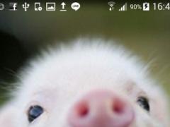 Cute Pigs Wallpaper 1.0 Screenshot