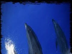 HD Dolphin & Whale Wallpaper 1.0 Screenshot