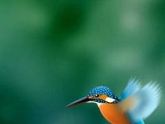 Kingfisher LiveWallpaper Trial 1.0.4 Screenshot