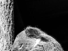 Koala Taking A Nap LWP 1.1 Screenshot