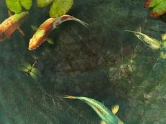 Koi Fish 3D Screensaver 1.1 Screenshot