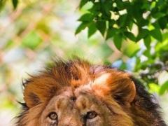 Lions African live wallpaper 1.0 Screenshot