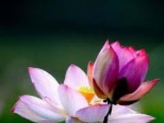 Lotus Flowers Wallpaper 6.0 Screenshot