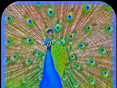 Peacock Sounds and Ringtones 1 0 Free Download