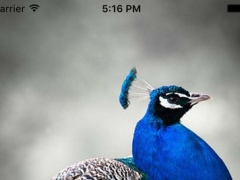 Peacock Sounds – Peacock Chirping 3 0 Free Download