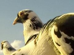 pigeons wallpaper 1.1 Screenshot