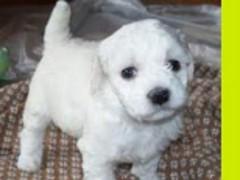 Puppy Dog Theme Crazy Home 1.0.0 Screenshot