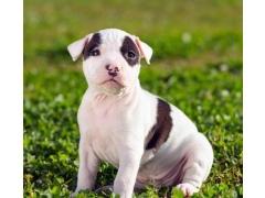 Puppy Pitbull Wallpaper 1.1 Screenshot