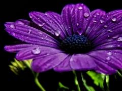 Purple Flower Wallpaper 1.01 Screenshot