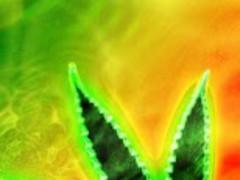Rasta Marijuana Live Wallpaper 1.0 Screenshot
