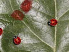 Real Ladybug Live Wallpaper 1.0.2 Screenshot