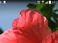 Real Red Flower Live Wallpaper  Screenshot