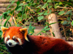 Red Panda HD Live Wallpapers 1.0 Screenshot