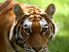 Tiger Jigsaw Puzzle 01 Screenshot