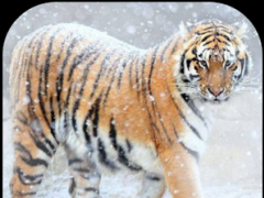 Tiger wallpapers slide show 1.2.1 Screenshot