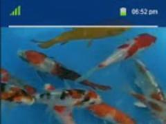 Touch Koi Fish Lwp 1.0 Screenshot