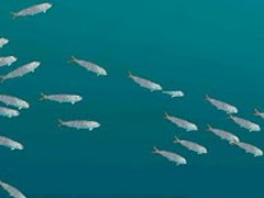 Whale shark and Sardines 1.0.11 Screenshot