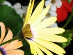 Wildflowers Wallpapers 1.0 Screenshot