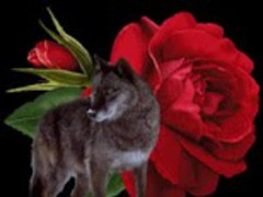 Wolf and Rose Live Wallpaper 1.1 Screenshot